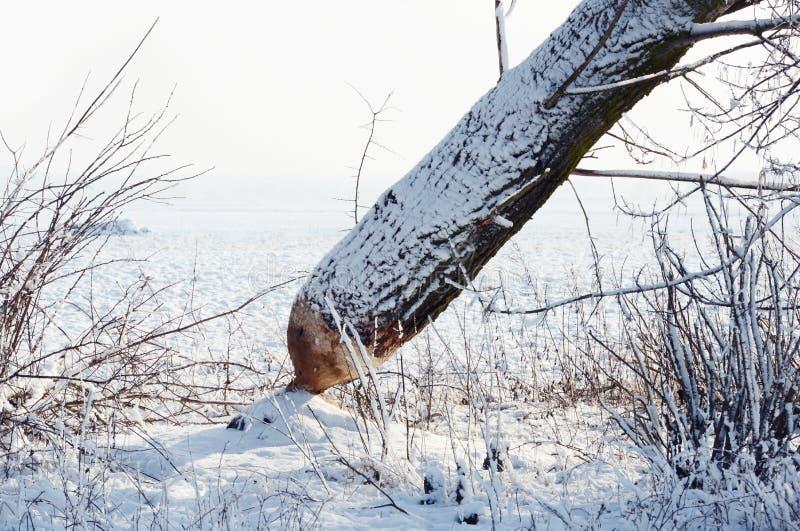 Tronco de árvore virado por um castor foto de stock