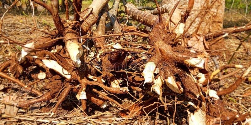 Tronco de las plantas de la mandioca fotografía de archivo libre de regalías