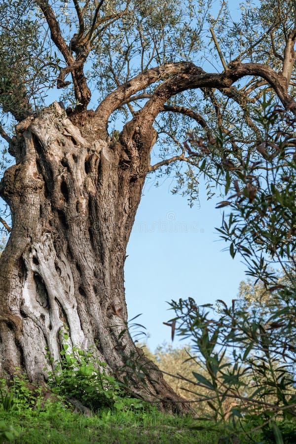 Tronco de oliveira velho fotos de stock