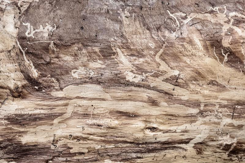 Tronco de pinheiro sem textura da casca; Trilhas do besouro do pinho de montanha visíveis na superfície fotos de stock