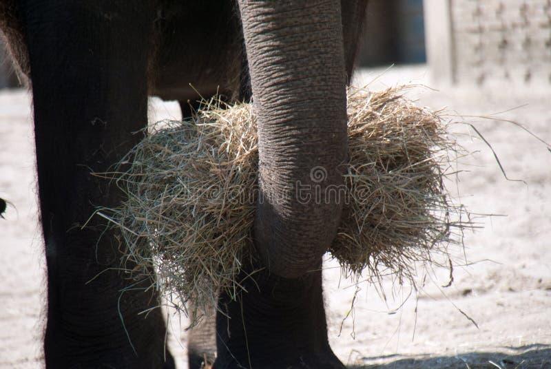Tronco de um elefante indiano que guarda um pacote de hey fotos de stock royalty free