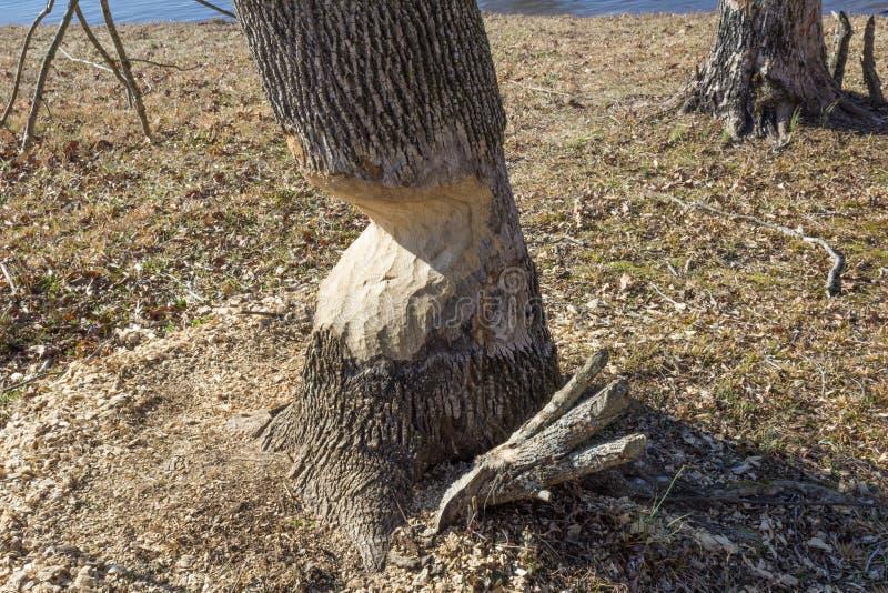 Tronco de uma árvore gravemente defeituosa por castores, inverno fotos de stock