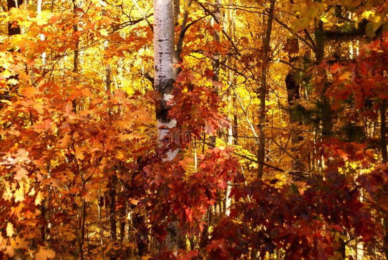 Tronco del árbol de abedul entre las hojas rojas, anaranjadas, y del amarillo en caída en Minnesota septentrional imagen de archivo