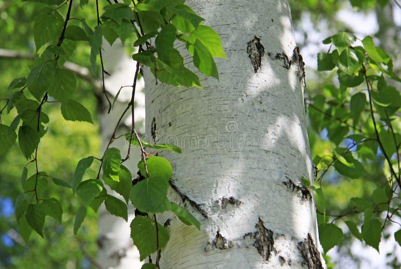 Tronco del abedul con las hojas en naturaleza imagenes de archivo