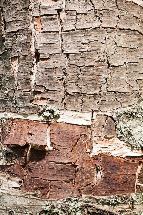Tronco del abedul que pela apagado textura de la superficie de la corteza fotos de archivo libres de regalías