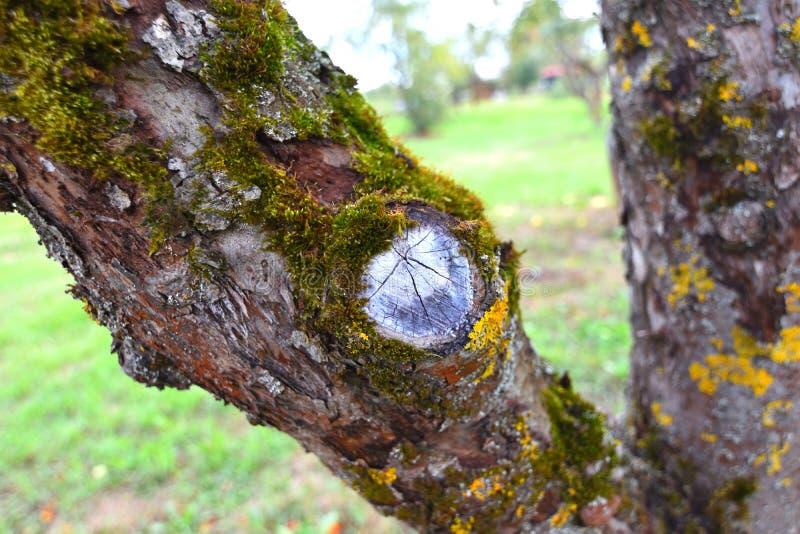 tronco del Apple-árbol foto de archivo