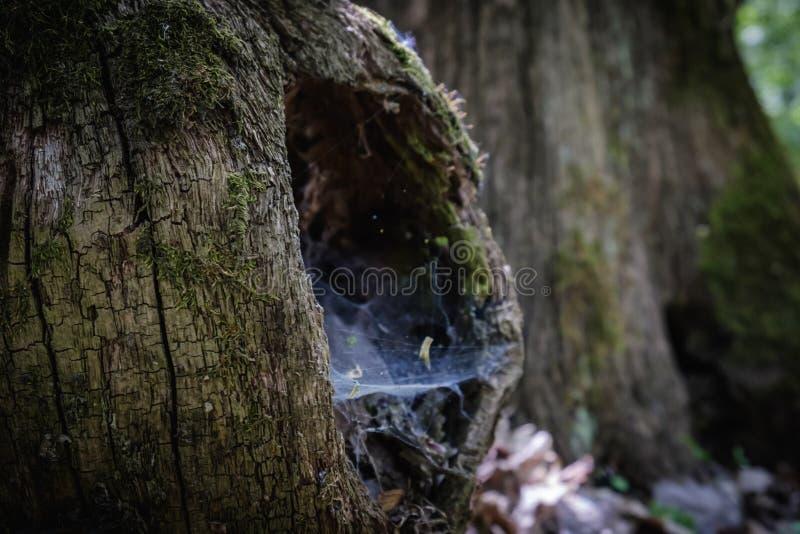 Tronco del ceppo della cavit? della natura dell'albero corteccia fotografie stock libere da diritti