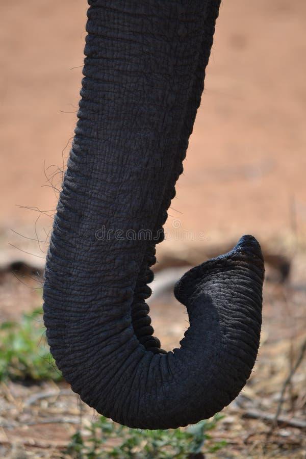 Tronco del elefante imagenes de archivo