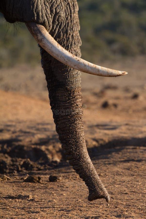 Tronco del elefante que huele la tierra imagenes de archivo