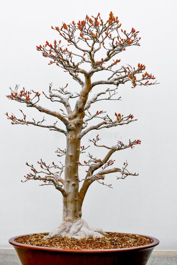 Tronco del faggio bianco dell'albero dei bonsai fotografie stock libere da diritti