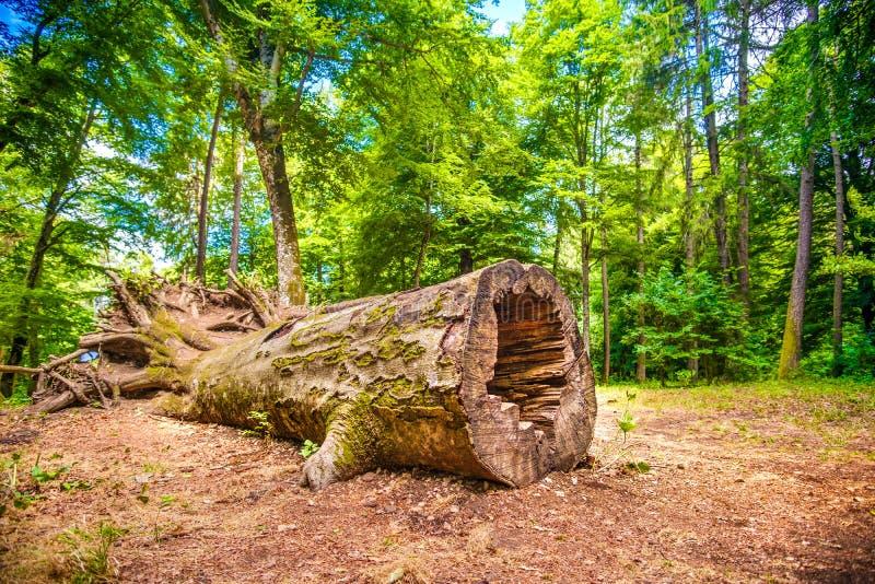 Tronco del malato dell'albero caduto edizione di disboscamento di malattia dell'albero fotografia stock libera da diritti