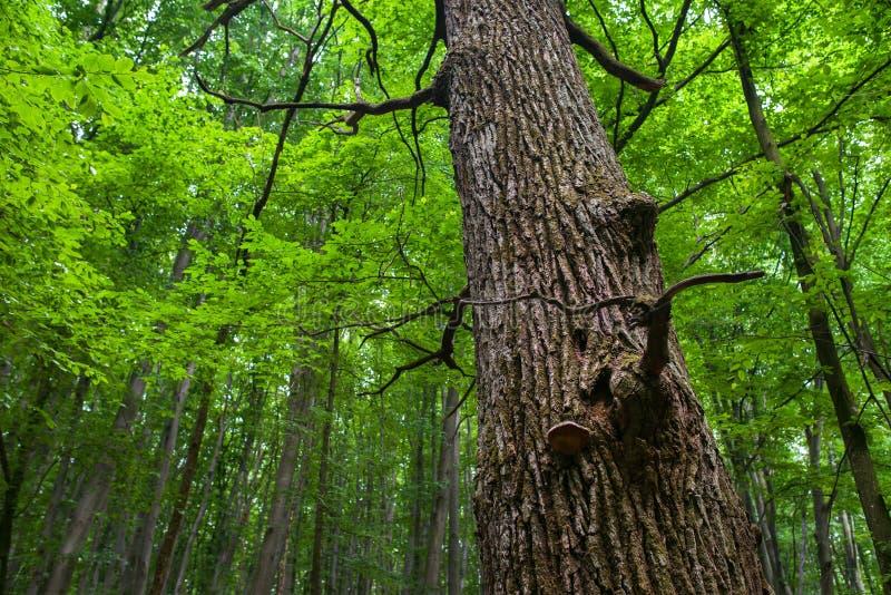 Tronco del roble en un bosque de hojas caducas fotografía de archivo libre de regalías