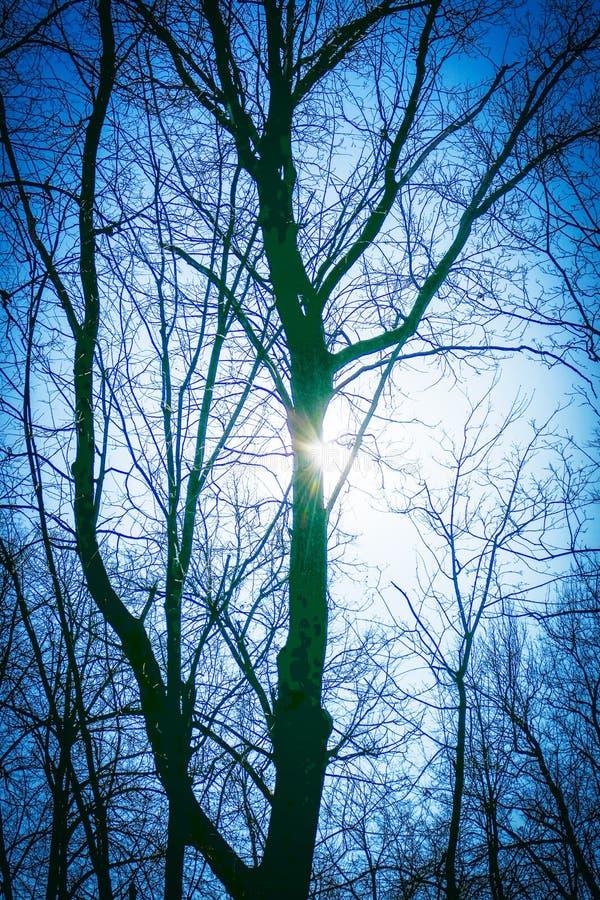 Tronco del tilo en los rayos del sol de la primavera fotografía de archivo