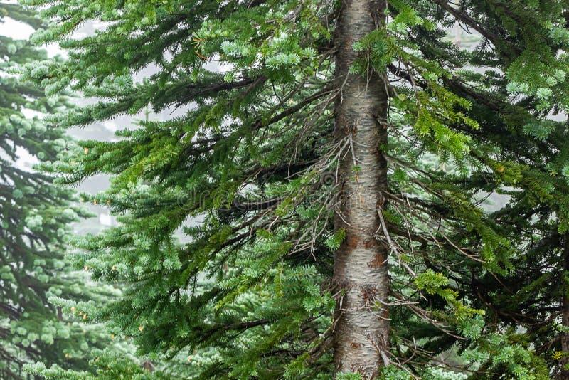 tronco dell'albero di abete in foschia della nebbia vicino su immagine stock