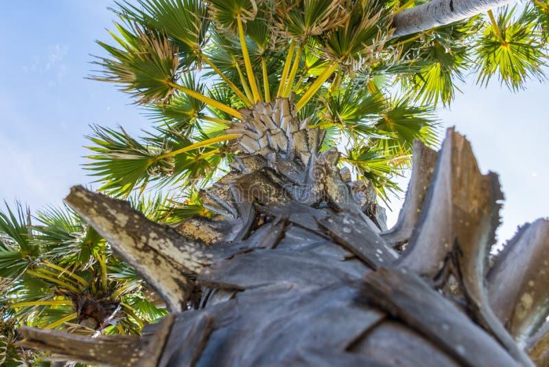 Tronco della palma con la foglia fotografia stock