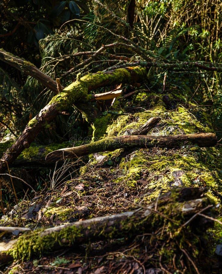 tronco di albero caduto molto vecchio, muscoso, lungo fotografia stock libera da diritti