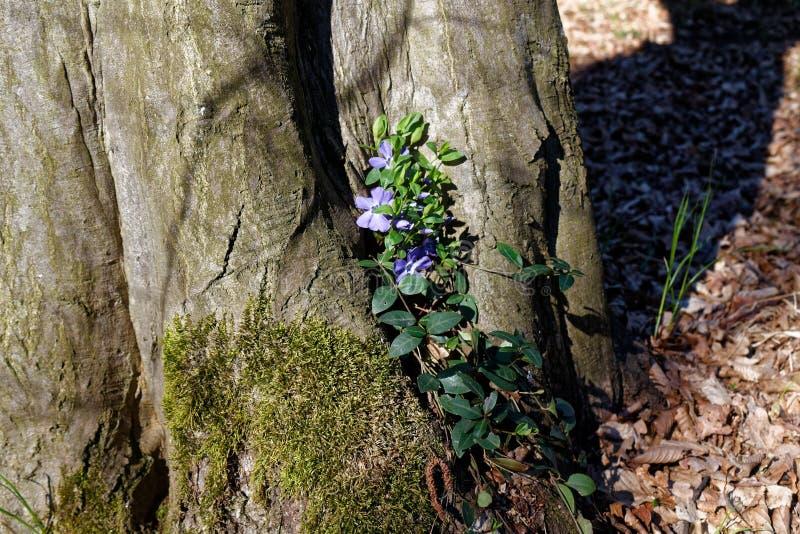 Tronco di albero con i fiori viola nella foresta, tempo fresco nel giorno di primavera fotografia stock
