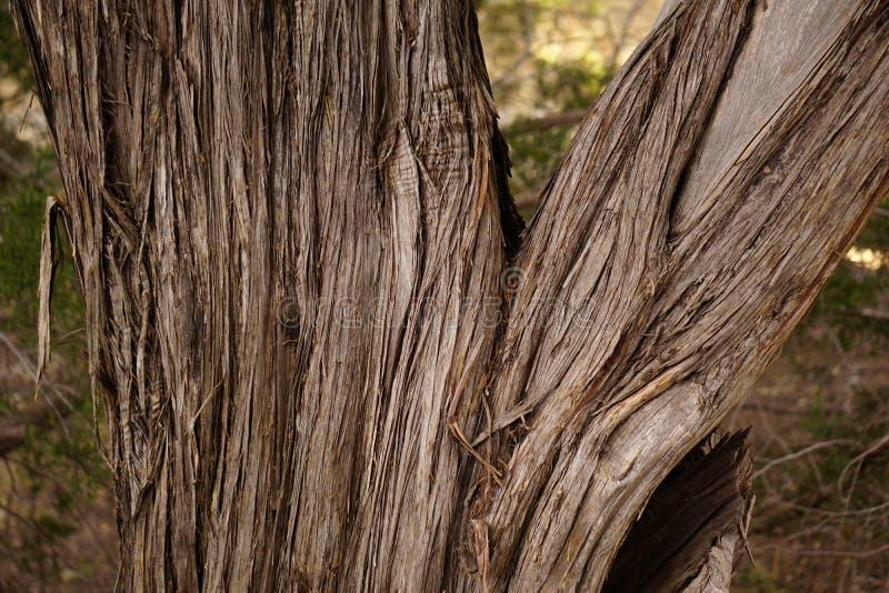 Tronco di albero del cedro immagini stock