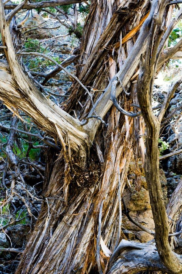 Tronco di albero del cedro fotografia stock libera da diritti