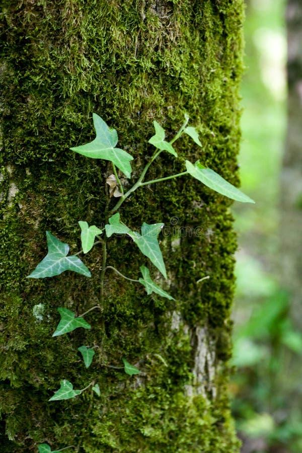 Tronco di albero limitato dalla vite dell'edera fotografia stock libera da diritti