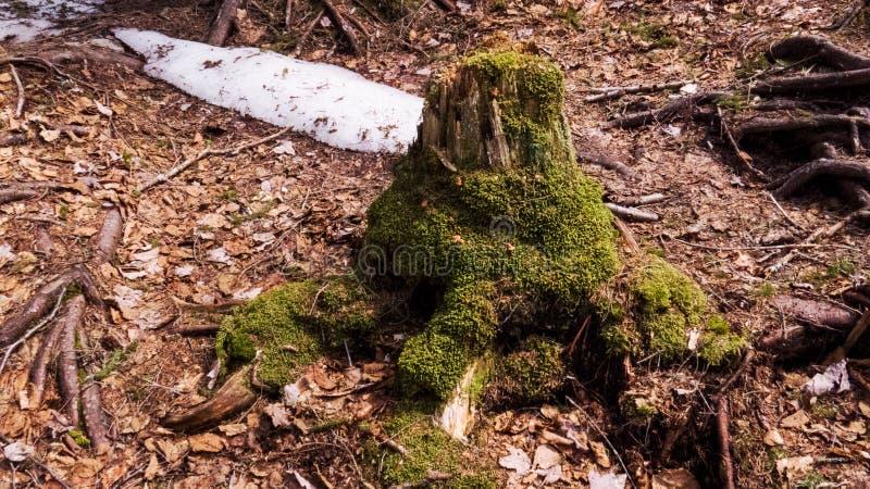 Tronco di albero morto con muschio verde ed un po'di neve immagini stock libere da diritti