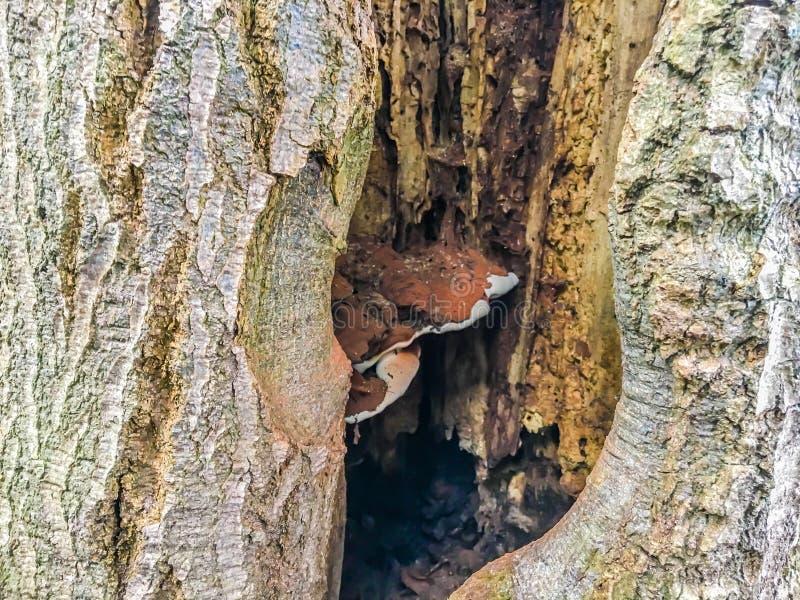 Tronco di albero morto di decomposizione con il foro ed il fungo dentro fotografia stock libera da diritti