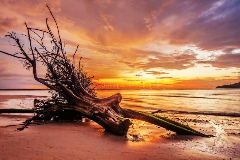 Tronco di albero morto sulla spiaggia tropicale fotografia stock
