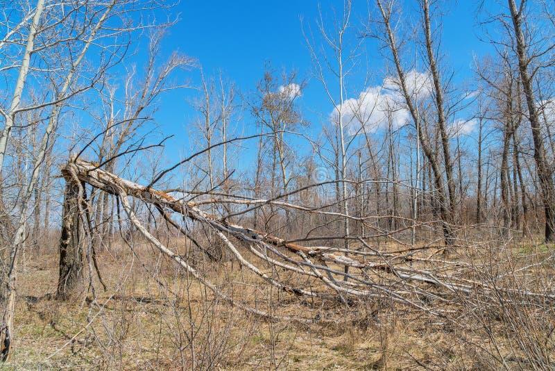 Tronco di albero rotto da forte vento immagini stock