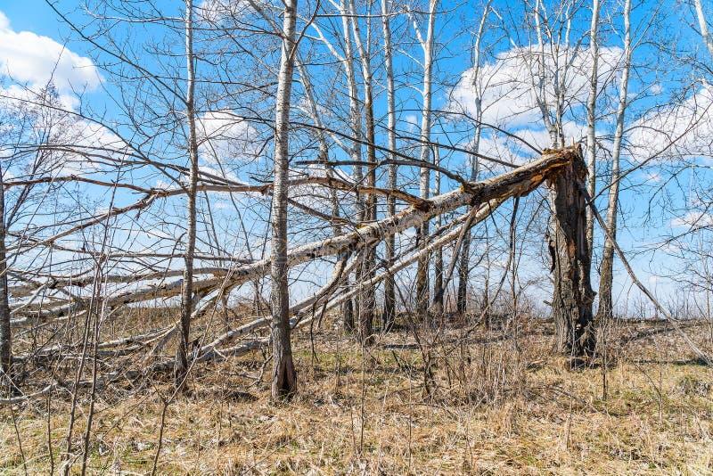 Tronco di albero rotto da forte vento immagini stock libere da diritti