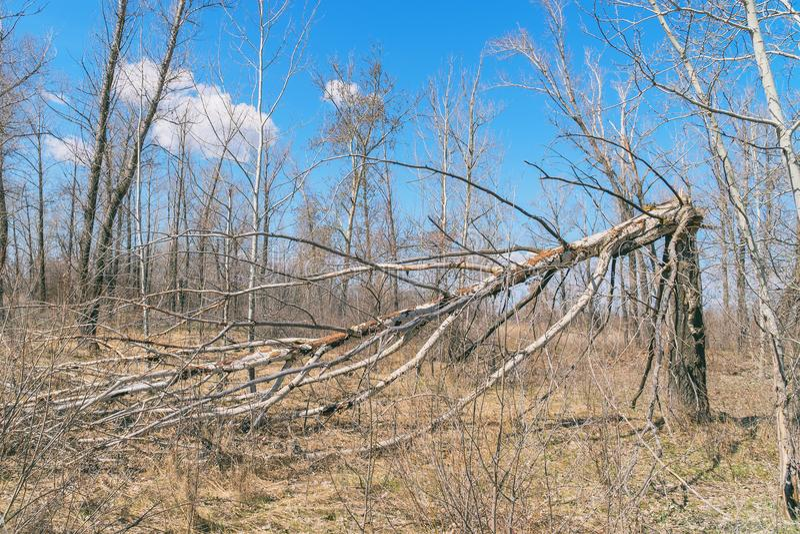 Tronco di albero rotto da forte vento fotografia stock libera da diritti