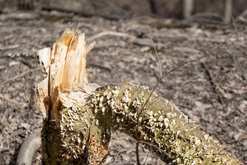Tronco di albero rotto e scheggiato nel legno immagine stock libera da diritti