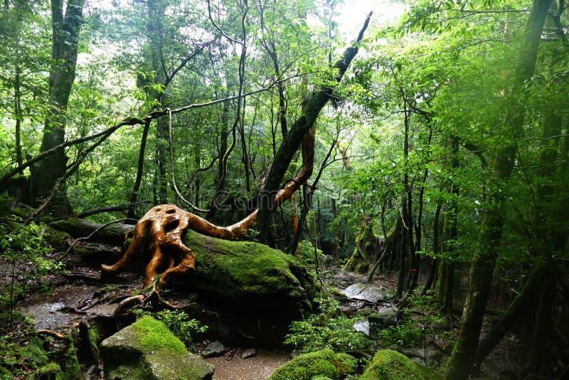 Tronco di albero spettacolare incastonato nella foresta pluviale di Yakushima, Giappone fotografia stock