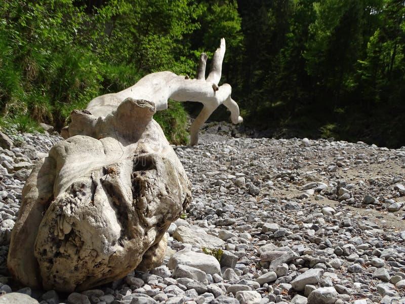 Tronco di albero sul letto dal lago Walchen Sylvenstein del fiume immagine stock