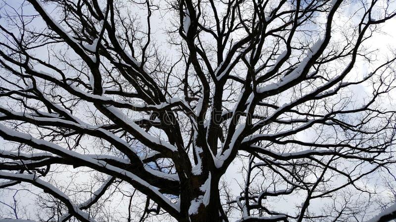 Tronco di albero vigoroso con i grandi rami coperti in neve fotografia stock libera da diritti