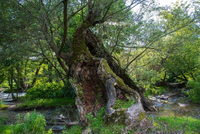 Tronco di albero vuoto del salice vicino al fiume di Olt nella Transilvania immagine stock libera da diritti