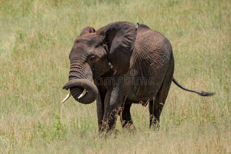 Tronco di bobina dell'elefante africano intorno alla sua zanna fotografia stock