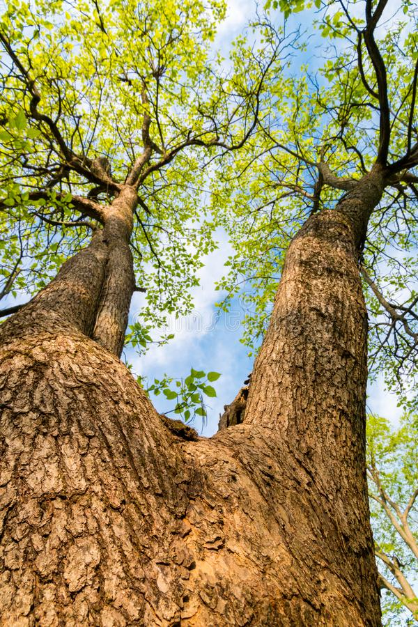 Tronco di grande, albero alto, spaccatura in due rami Cercando Ca fotografia stock