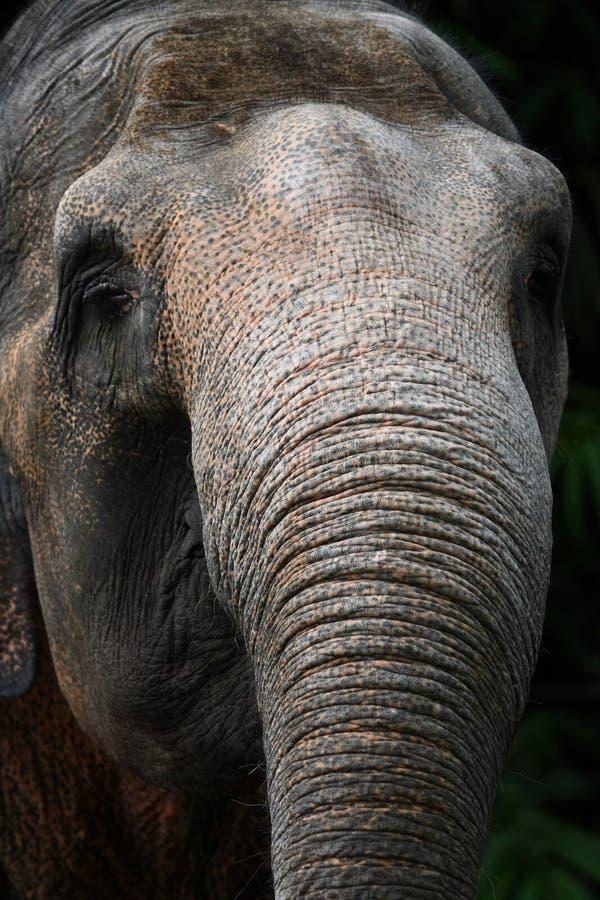 Tronco do elefante de Sumatran imagem de stock