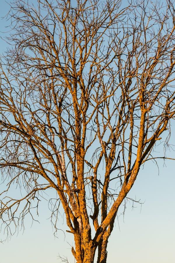Tronco e corona di un albero morto coperto di muschio su un fondo di cielo blu immagini stock libere da diritti