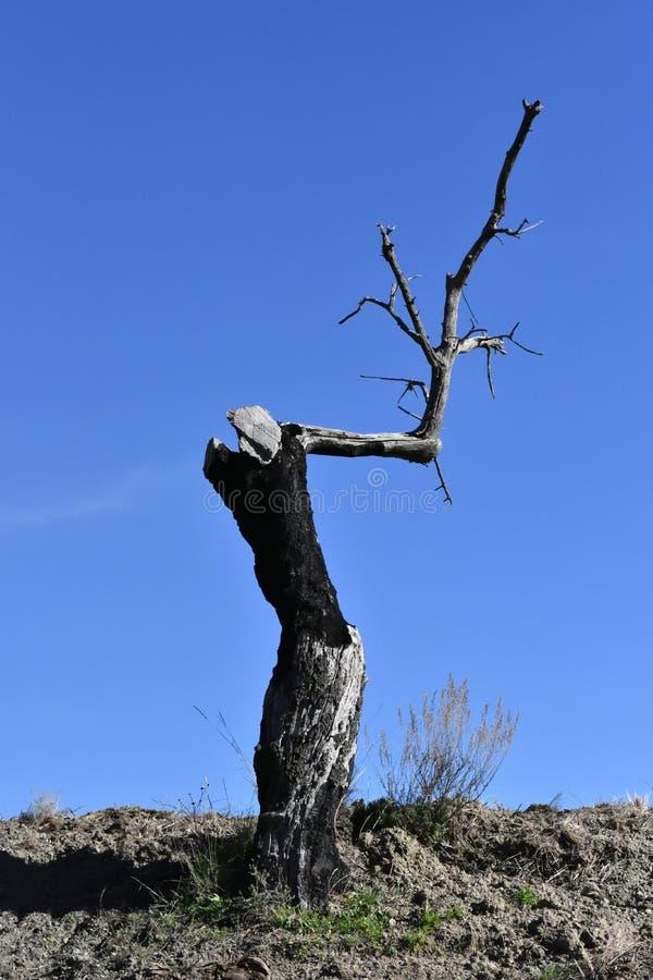 Tronco e ramo de uma árvore de amêndoa desencapada após as consequências de um fogo fotografia de stock royalty free