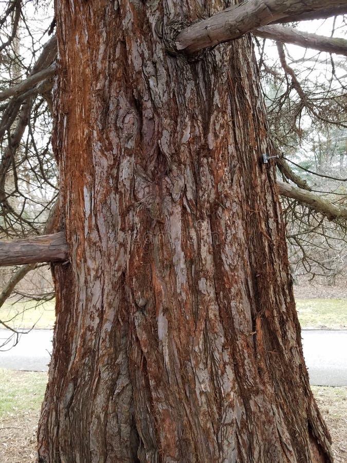 Tronco e ramos velhos de árvore da sequoia vermelha foto de stock