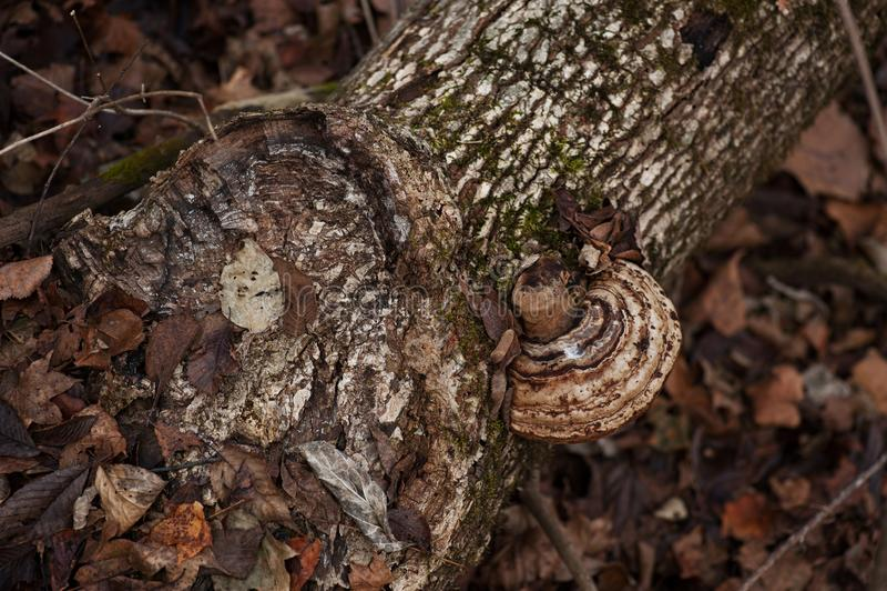 Tronco in foresta con il fungo e le foglie di autunno fotografie stock libere da diritti