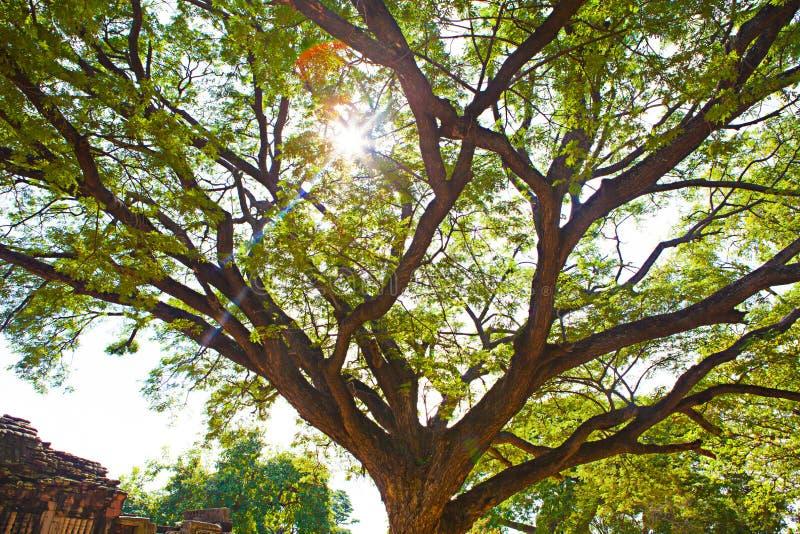 Tronco grande da árvore com ramos e a folha verde com luz solar morna imagem de stock royalty free