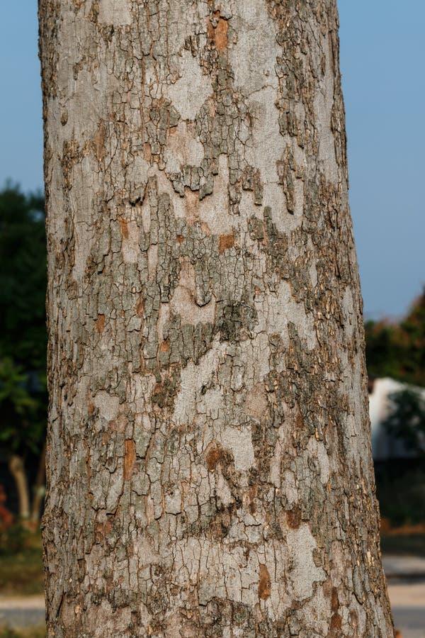 Tronco grande da árvore da borracha foto de stock royalty free