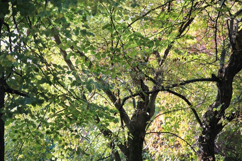 Tronco maravillosamente curvado del árbol y de las hojas del verde imagen de archivo