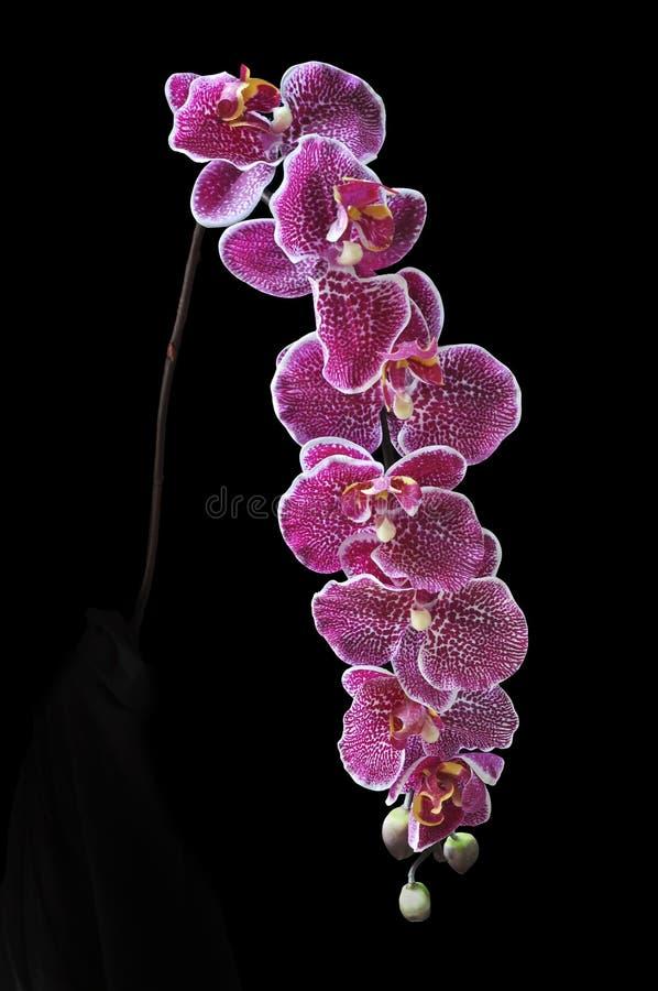 Tronco púrpura de la orquídea en un florero artístico oscuro foto de archivo libre de regalías