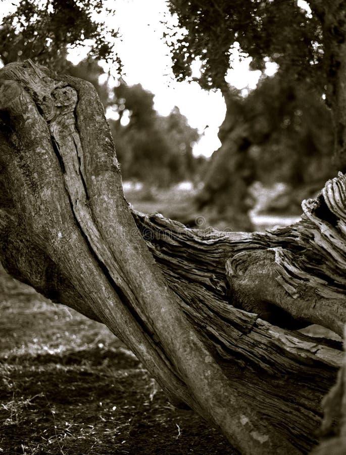 Tronco rachado das azeitonas velhas que encontram-se na terra fotos de stock royalty free