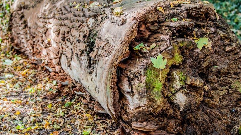 Tronco seco e velho jogado no meio da floresta, imagens de stock royalty free