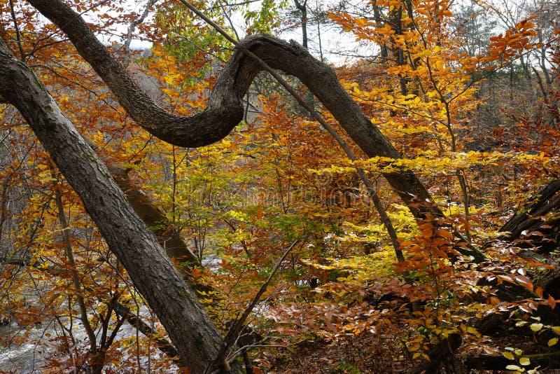 Tronco torcido de un árbol con follaje brillante del otoño imágenes de archivo libres de regalías