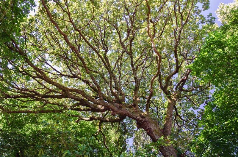 Tronco y ramas del roble enorme de debajo fotografía de archivo